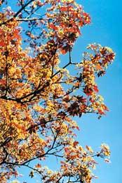 Листьев цветет мелкими душистыми